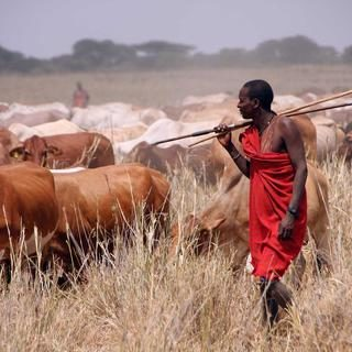 Manyara-Ranch-Cattle-with-herder_large